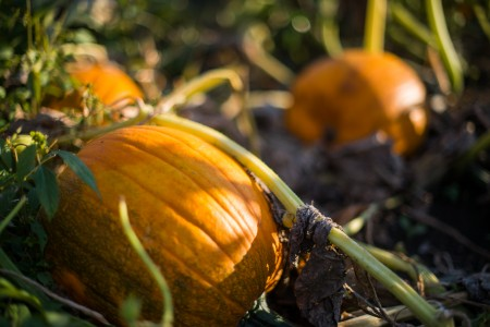 Just one of the luscious pumpkins available to pick at Uncle Bill's pumpkin patch. Photo by John Brady.